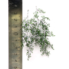 Birch branches, size M